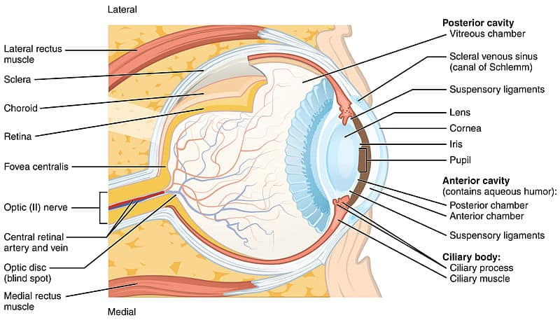 Anatomy of the Eye. Illustration from Anatomy & Physiology, Connexions Web site. http://cnx.org/content/col11496/1.6/