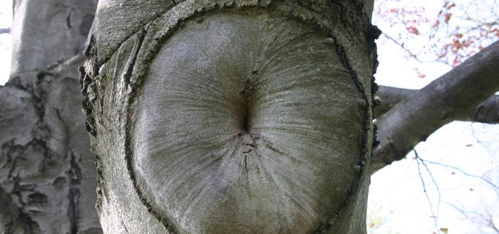 Tree sphincter. Image from flickr - Mark Sadowski