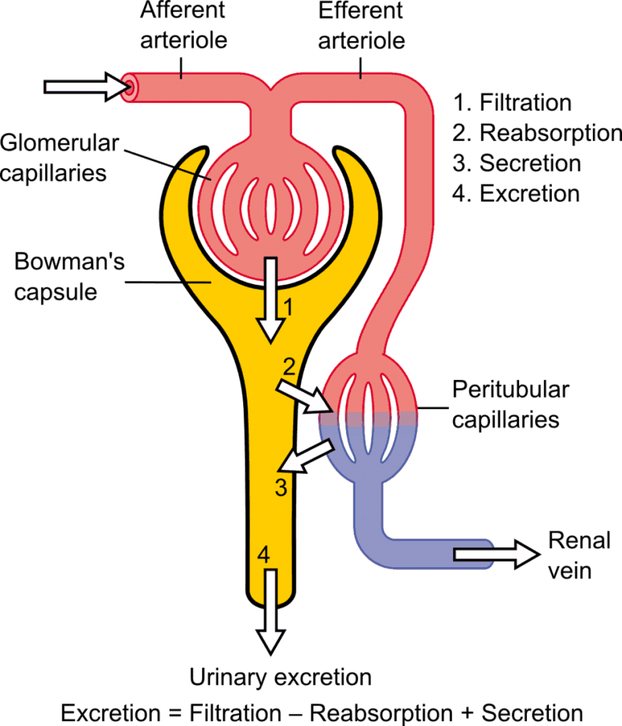 Schematic diagram showing the glomerulus and tubule