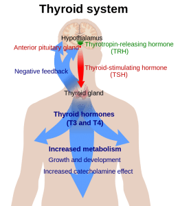 Hypothalamic-thyroid-pituitary axis