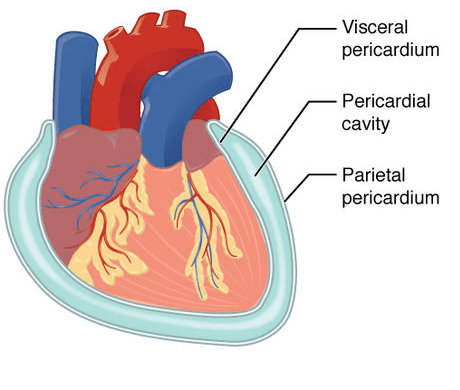 Pericardium and Cardiac Tamponade
