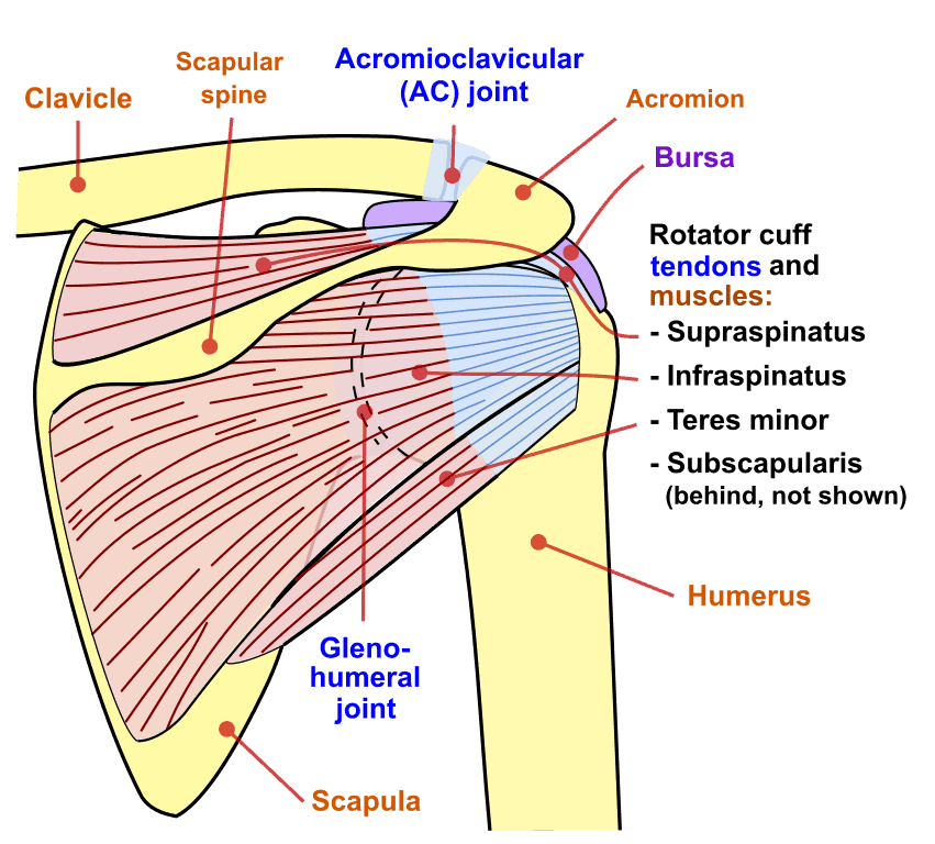 Shoulder Joint Posterior View