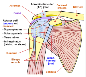 Shoulder Joint Anterior View